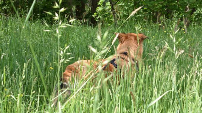 Ist das schön, so als freier Hund durch's Gras zu hopsen... wenn da bloß diese blöden Zecken nicht wären!